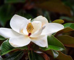 梅雨 花 香り 匂い 枯れる タイサンボク