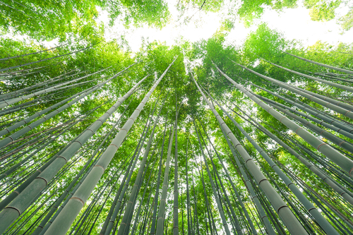 笹 七夕 竹 種類
