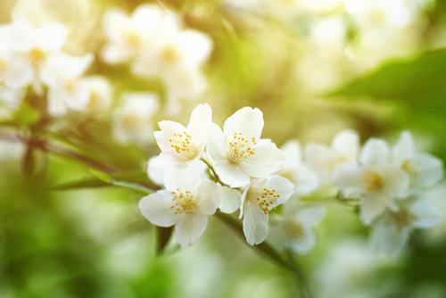 梅雨 花 香り 匂い 枯れる ジャスミン