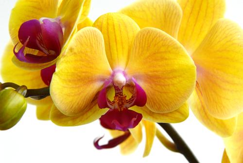 胡蝶蘭 父の日 花 種類
