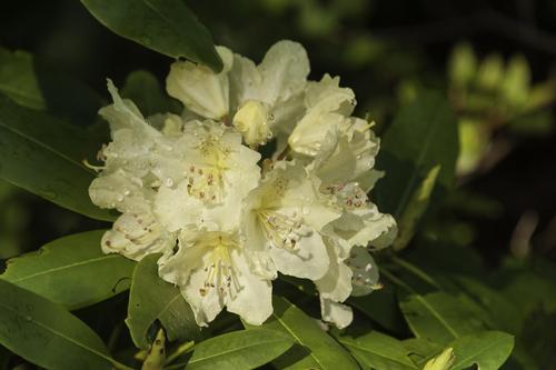梅雨 花 香り 匂い 枯れる エゴノキ