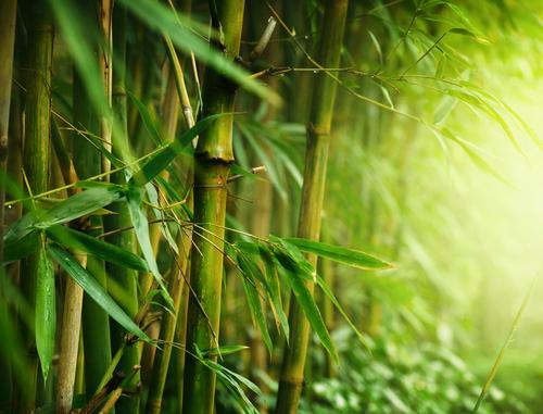 七夕 竹 種類