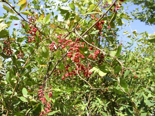 紅葉 種類 名前 葉 苗 低木. トヨミズキ