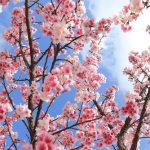 花見の岐阜!穴場の花見スポットと見頃時期!屋台や夜桜は?