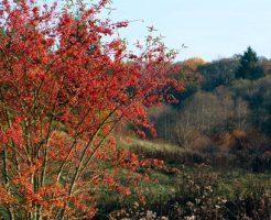 紅葉 種類 名前 葉 苗 低木 ニシキギ