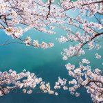 桜の花言葉とゾッとするような怖い花言葉