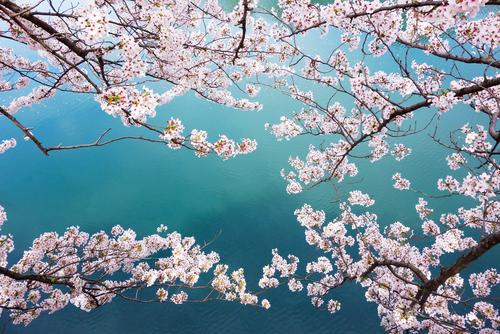 桜 花言葉 怖い