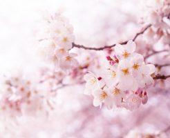 桜 花 木 種類 寿命