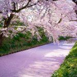山崎川の花見!屋台とおすすめ花見スポットと開花情報!宴会禁止!?