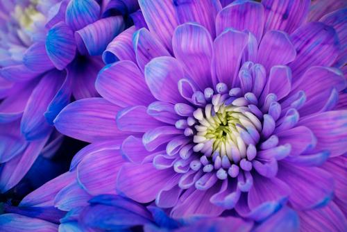 敬老の日 花 種類 ガーベラ