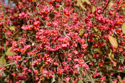 紅葉 種類 名前 葉 苗 低木. コマユミ