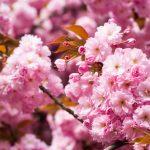 花見の桜の満開の時期は?散るまでの期間は?