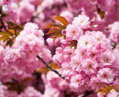 花見 満開 散る 期間