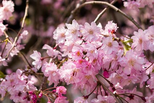 鎌倉 桜 まとめ