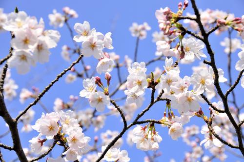 鎌倉 桜 見頃